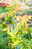 Blue-gray Berry mahonia Stock Images