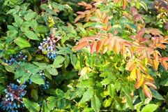 Blue-gray Berry mahonia Royalty Free Stock Photo