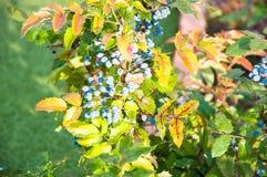 Blue-gray Berry mahonia Royalty Free Stock Photography