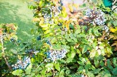 Blue-gray Berry mahonia Royalty Free Stock Image