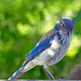 Blue and Gray Bird Stock Photography