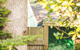 Blue and gray bird standing on wooden fence. Blue and gray bird perched on wooden fence Stock Image