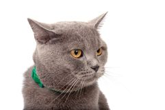 Blue gray british cat. Isolated on the white royalty free stock photography