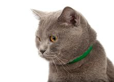 Blue gray british cat. Isolated on the white royalty free stock photos