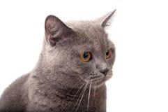 Blue gray british cat. On the white stock photos