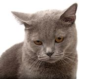 Blue gray british cat. On the white stock images