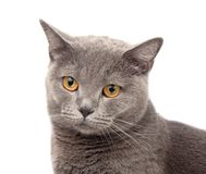 Blue gray british cat. On the white royalty free stock images