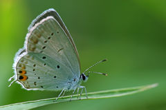 Blue gray butterfly on the grass Stock Photography