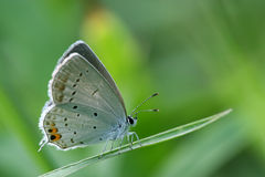 Blue gray butterfly on the grass Royalty Free Stock Photo