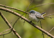 Blue-gray Gnatcatcher. Photograph of a spring time singing Gnatcatcher Royalty Free Stock Image