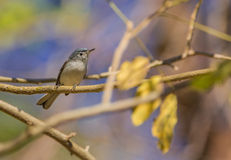 Blue-gray Gnatcatcher Stock Image