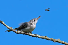 Blue-gray gnatcatcher and Bee Royalty Free Stock Image