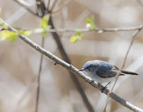 Blue Gray Gnatcatcher Stock Photography