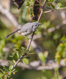 Blue-Gray Gnatcatcher on a branch Royalty Free Stock Images
