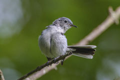 Blue-gray Gnatcatcher. A blue-gray gnatcatcher dancing on a tree branch Stock Image