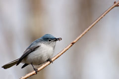 Blue-gray Gnatcatcher Royalty Free Stock Photo