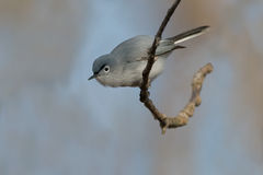 Blue-gray Gnatcatcher Royalty Free Stock Photography