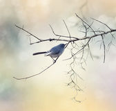 Blue-gray Gnatcatcher Royalty Free Stock Images