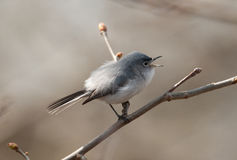 Blue-gray Gnatcatcher Stock Photography