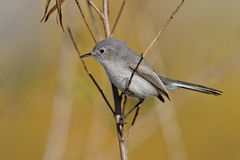 Blue-gray Gnatcatcher (Polioptila caerulea) Royalty Free Stock Photography