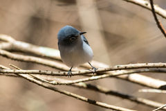 Blue-gray Gnatcatcher (Polioptila caerulea). Blue-gray Gnatcatcher perched on a tree limb. Boynton Beach, Florida, United States Royalty Free Stock Photo