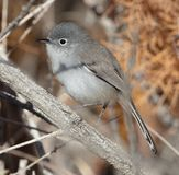Blue Gray Gnatcatcher royalty free stock images