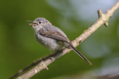 Blue-gray Gnatcatcher. A blue-gray gnatcatcher singing from a tree branch Royalty Free Stock Photos