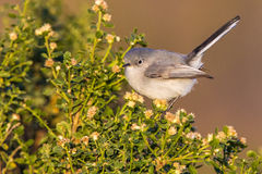 Blue-Gray Gnatcatcher Stock Images