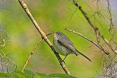 Blue-gray gnatcather (Polioptila caerulea) Stock Photo