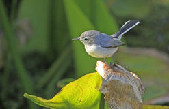 Blue-gray gnatcather (Polioptila caerulea) Stock Image