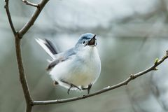 Blue-gray Gnatcher stock images