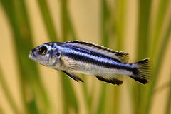 Blue gray mbuna malawi cichlid Melanochromis johannii aquarium fish johanni Stock Photography