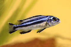 Blue gray mbuna malawi cichlid Melanochromis johannii aquarium fish johanni Royalty Free Stock Photos