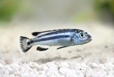 Blue gray mbuna malawi cichlid Melanochromis johannii aquarium fish johanni stock images