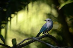 Blue-gray tanager bird. The blue-gray tanager Thraupis episcopus is a medium-sized South American songbird of the tanager family stock photos