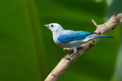 Blue-gray Tanager. Blue Gray Tanager on a branch in Costa Rica Stock Photography