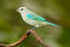 Blue-gray tanager on branch in green vegetation. Wildlife scene from green forest habitat, bird sitting on the branch, South Ameri. Ca. Tropic bird from Costa royalty free stock photos
