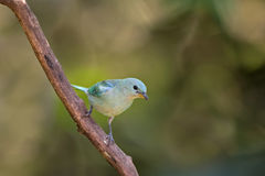 Blue-Gray Tanager Stock Photography