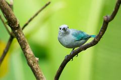 Blue-gray tanager. And green background, Sarapiqui valley, Costa Rica Royalty Free Stock Photo