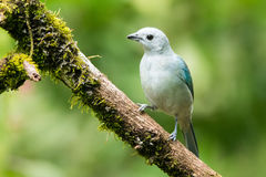 Blue-gray tanager. On a mossy branch in Costa Rica Stock Photo