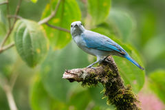 Blue-gray tanager. On a mossy branch in the jungle, La Selva Biological Station, Costa Rica Stock Images