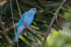 Blue-gray Tanager. A blue gray tanager perched in the dark forest Stock Photos