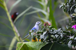Blue-gray tanager sitting on banana on palm leaf Stock Photo