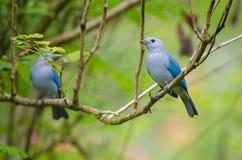 Blue-gray tanager. (Thraupis episcopus), Puerto Viejo de Sarapiqui, Costa Rica Stock Photo