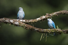 Blue-gray Tanagers Pair Stock Photo