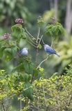 Blue-gray Tanagers Thraupis episcopus. Pair of Blue-gray Tanagers perched in a bush Royalty Free Stock Images