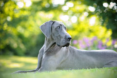 Blue Great Dane Stock Image