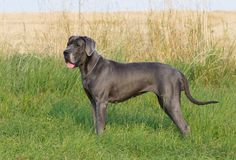 The blue great dane dog in grass stock photos