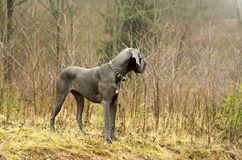 Blue Great dane looking back Stock Photos