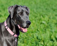 Blue great dane portrait Stock Image